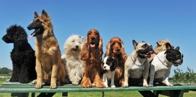 Is your dog really purebred?