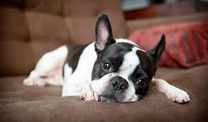 Finding the Perfect Dog for a Flat or Small Home