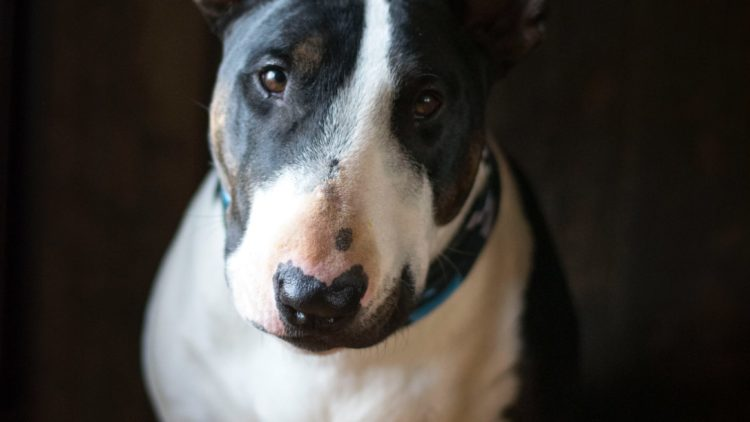 TOP TEN DOG BREEDS IN SOUTH AFRICA: The Bull Terrier