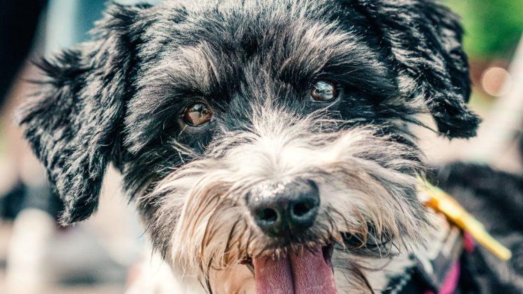 TOP TEN DOG BREEDS IN SOUTH AFRICA: Miniature Schnauzer