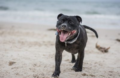 TEN DOG BREEDS IN SOUTH AFRICA: American Staffordshire Terrier