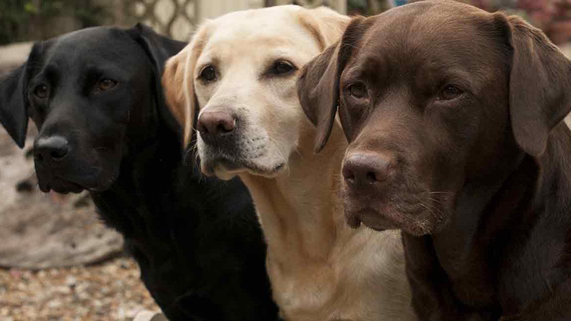 TOP TEN DOG BREEDS IN SOUTH AFRICA: Labrador Retriever