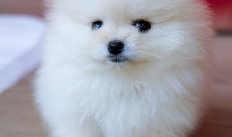 TOP TEN DOG BREEDS IN SOUTH AFRICA: Pomeranians