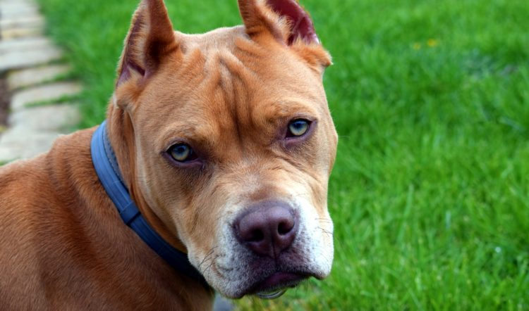 5 Things You Need To Know About Pit Bulls